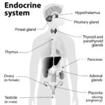 Kroppens hormonsystem